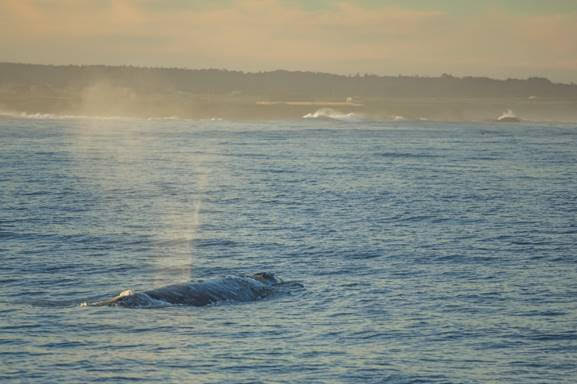 Whale Watch in Style at Little River Inn of Mendocino plus March Virtual Whale Festival